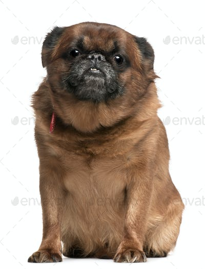 Griffon Bruxellois, 10 years old, sitting in front of white background