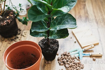 Repotting fiddle leaf fig tree in big modern pot. Ficus lyrata leaves and pot
