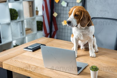 Selective Focus of Beagle Sitting on Table With Laptop And Smartphone in Modern Office
