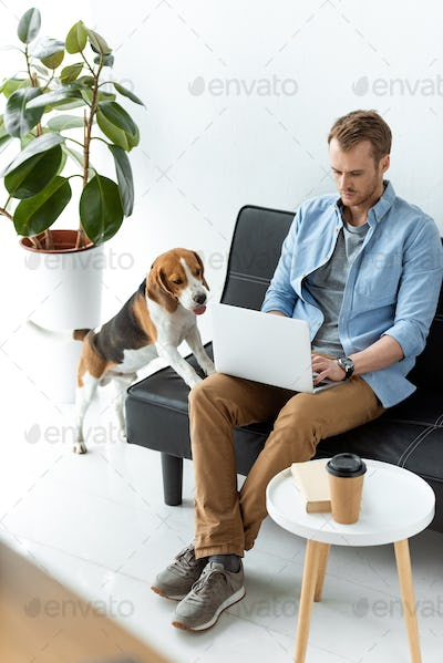 High Angle View of Male Freelancer Working on Laptop While Beagle Running Near at Home Office