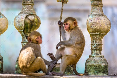Macaque monkeys at Taung Kalat on Mt. Popa