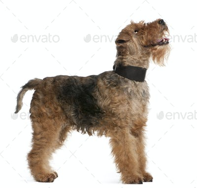 Welsh Terrier, 7 years old, standing in front of white background