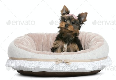 Yorkshire Terrier puppy, 2 months old, sitting in front of white background