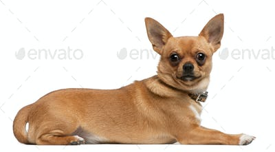 Chihuahua, 8 months old, lying in front of white background