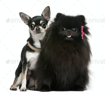 Chihuahua puppy and black fluffy dog, sitting in front of white background