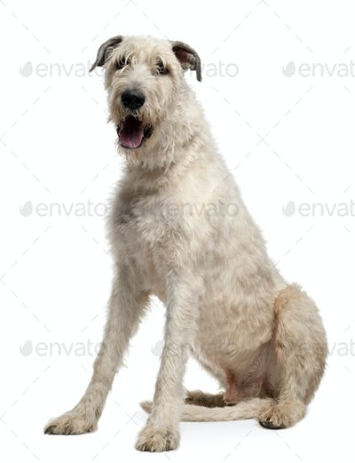 Irish Wolfhound, 4 years old, sitting in front of white background