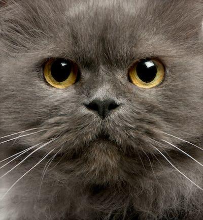Close up of grey cats face