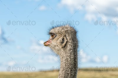 Close-up of the ear of an ostrich