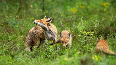 Protective red fox mother guarding her playing cubs on green glade in nature