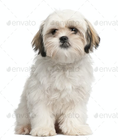 Shih Tzu puppy, 6 months old, sitting in front of white background