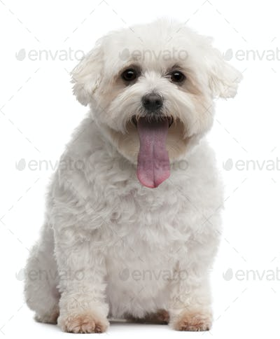 Maltese with tongue out, 5 years old, sitting in front of white background