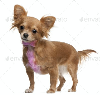 Chihuahua with pink bow-tie fur, 18 months old, standing in front of white background