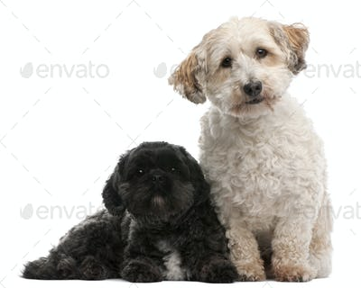 Cross Breed dog, 8 years old, and Lhasa Apso, 4 years old, sitting in front of white background
