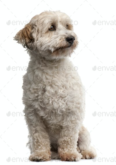 Cross breed dog, 8 years old, sitting in front of white background