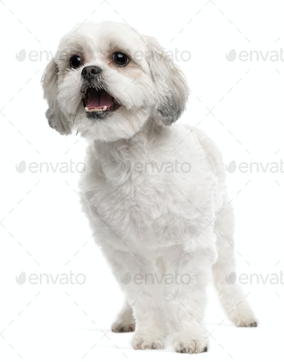 Cross breed dog, 5 years old, standing in front of white background
