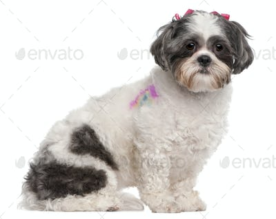 Shih Tzu, 2 years old, sitting in front of white background