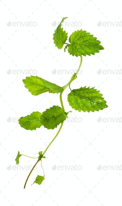 green twig of lemon balm herb isolated