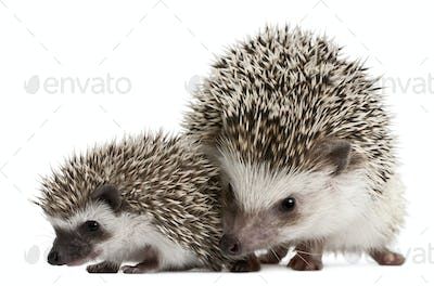 Four-toed Hedgehogs, Atelerix albiventris, 3 weeks old, in front of white background