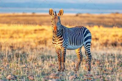 An Alert Cape Mountain Zebra