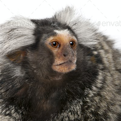 Common Marmoset, Callithrix jacchus, 2 years old, in front of white background
