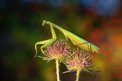European mantis standing on two blooming heads of thistle in summer at sunset