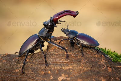 Male stag beetle standing above female and protecting her in summer nature