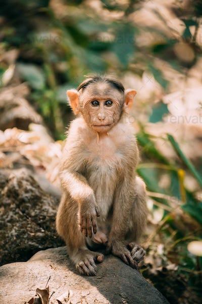 Goa, India. Young Bonnet Macaque - Macaca Radiata Or Zati Sitting On Stone. Portrait Of Cub