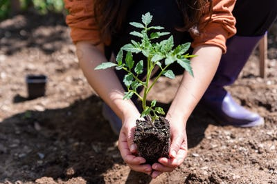 Woman planting young tomatoes plant at the garden.