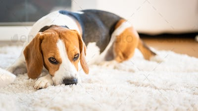 Beagle dog lying down on a carpet looking tired. Original photo