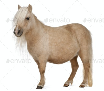Palomino Shetland pony, Equus caballus, 3 years old, standing in front of white background