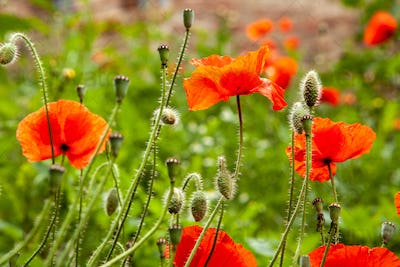 Red poppy flower on blurred bokeh background