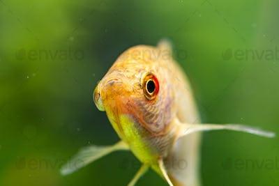 Aquarium Fish Golden gourami Trichogaster trichopterus Gold
