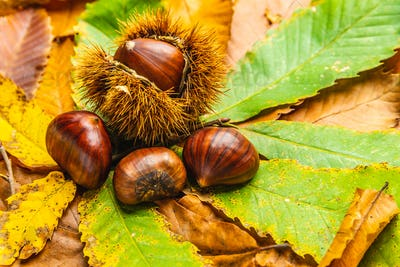 Ripe chestnuts close up with copy space. Raw Chestnuts for Christmas Autumn time