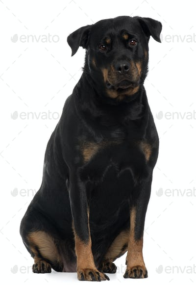 Rottweiler, 4 years old, sitting in front of white background