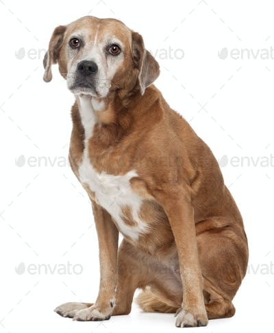 Old Mixed-breed dog, 13 years old, sitting in front of white background