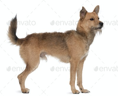 Mixed breed dog, 3 years old, standing in front of white background