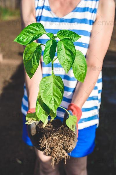 Seedling of bell pepper in hands