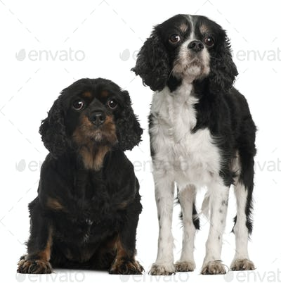 Cavalier King Charles Spaniels, 9 and 7 years old, in front of white background