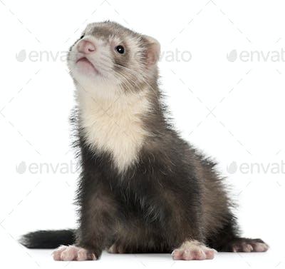 Ferret, 3 months old, sitting in front of white background
