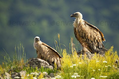 Two griffon vultures resting on rock on edge of mountain peak