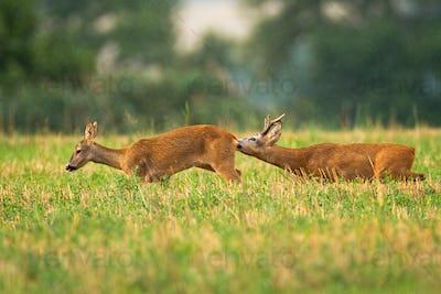 Courtship of male and female roe deer in pairing season