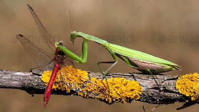 European mantis feeding on red dragonfly in summer nature