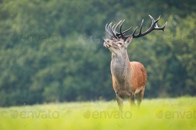 Proud red deer sniffing with head up on green meadow in rutting season