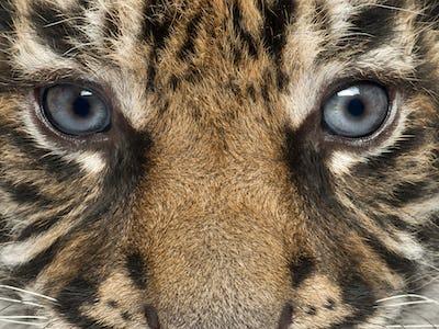 Close-up of Sumatran Tiger cub, Panthera tigris sumatrae, 3 weeks old