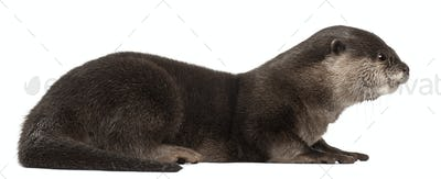 Side view of Oriental small-clawed otter, Amblonyx Cinereus, 5 years old, front of white background