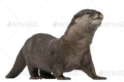 Oriental small-clawed otter, Amblonyx Cinereus, 5 years old, walking in front of white background