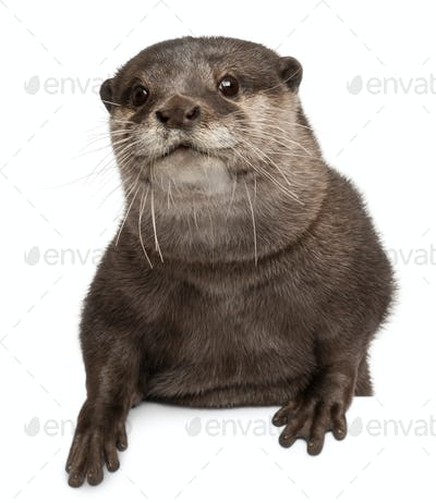 Oriental small-clawed otter, Amblonyx Cinereus, 5 years old, sitting in front of white background