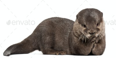 Oriental small-clawed otter, Amblonyx Cinereus, 5 years old, lying in front of white background