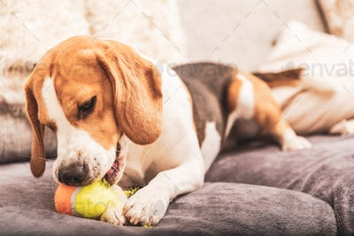 Beagle dog with a ball on a couch ripping ball toy