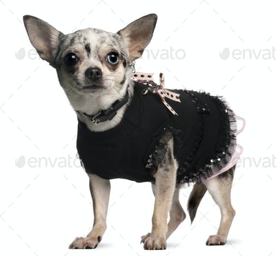 Chihuahua dressed up, 18 months old, standing in front of white background
